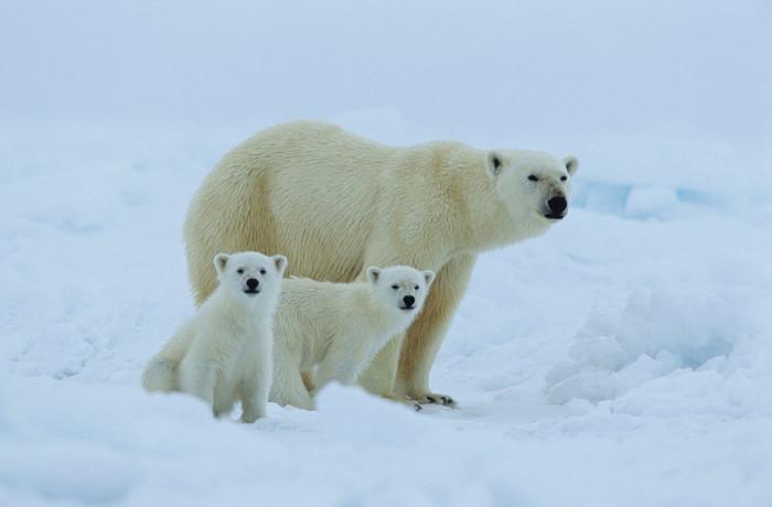 Isbjørn 3